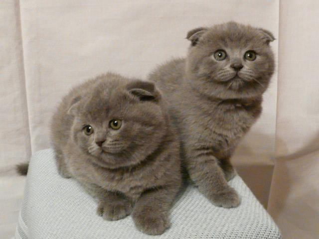 шотландская вислоухая кошка фото - фотография 8.